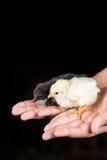 Pequeños pollos del bebé en las manos de los niños con el fondo negro Foto de archivo