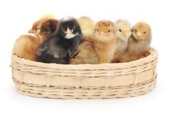 Pequeños pollos en cesta Imágenes de archivo libres de regalías