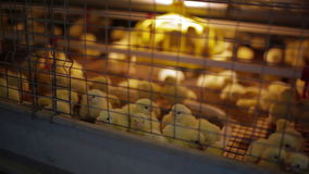 Pequeños pollos en jaula metrajes