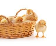 Pequeños pollos en la cesta Foto de archivo libre de regalías
