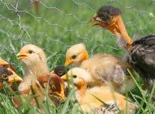 Pequeños pollos en la hierba Foto de archivo