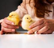 Pequeños pollos en manos Foto de archivo libre de regalías