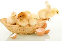 Pequeños pollos en una cesta Fotos de archivo libres de regalías