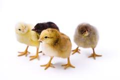 Pequeños pollos lindos Foto de archivo libre de regalías