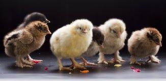Pequeños pollos mullidos Imagen de archivo libre de regalías