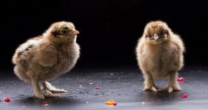 Pequeños pollos mullidos Imágenes de archivo libres de regalías