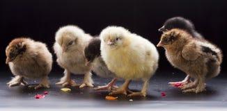 Pequeños pollos mullidos Imagen de archivo