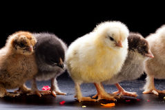 Pequeños pollos mullidos Imagenes de archivo