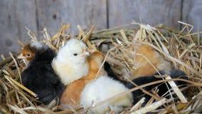 Pequeños pollos mullidos tramados viejos de un día recién nacidos del color amarillo y negro en la jerarquía del heno en un fondo almacen de metraje de vídeo