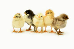 Pollos en un fondo blanco Imagen de archivo