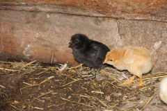 Pequeños pollos negros y amarillos, escogiendo algo para arriba del piso en granja Fotografía de archivo libre de regalías
