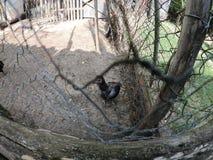 Pequeños pollos y pequeños gallos en una granja orgánica imágenes de archivo libres de regalías