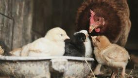 Pequeños polluelos con la gallina almacen de metraje de vídeo