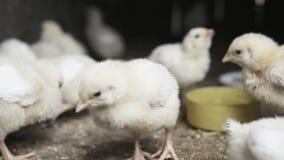 Pequeños polluelos de la parrilla almacen de video