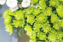 Pequeños primer, fondo y textura verdes de la flor Fotografía de archivo