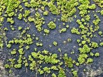 Pequeños puntos del musgo verde en superficie de piedra oscura Foto de archivo