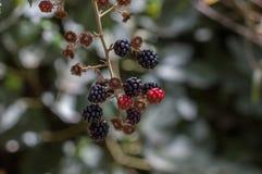 Pequeños racimos rojos de bayas en árbol bajo luz natural Fotografía de archivo