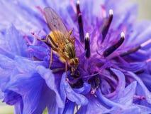 Pequeños restos marrones de la mosca en la flor púrpura Imagen de archivo