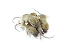 Pequeños roedores (rata del bebé) fotografía de archivo