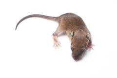 Pequeños roedores (rata del bebé) Imagen de archivo libre de regalías