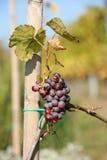 Pequeños sepulcros del vino rojo Fotografía de archivo