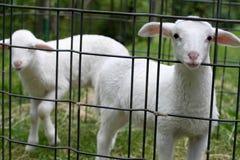 Pequeños sheeps fotografía de archivo