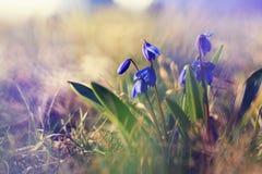 Pequeños snowdrops azules de las flores, paisaje de la primavera Imagen de archivo