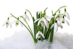 Pequeños snowdrops en nieve Fotografía de archivo libre de regalías