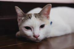 Pequeños sueños blancos lindos del gatito Imagen de archivo libre de regalías