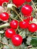 Pequeños tomates Foto de archivo