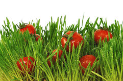 Pequeños tomates rojos en una hierba verde Foto de archivo