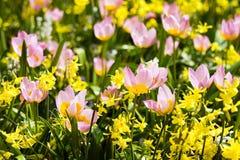 Pequeños tulipanes coloridos Imagen de archivo