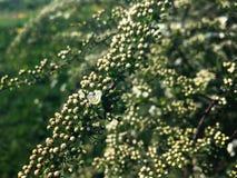 Peque?as flores en una rama del spirea imagenes de archivo