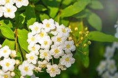 Peque?as flores enormes blancas brillantes con un fondo borroso fotografía de archivo