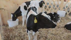 Peque?as vacas almacen de video