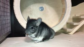 Peque?a chinchilla mullida gris almacen de video