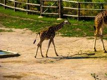peque?a jirafa La jirafa va a su madre foto de archivo