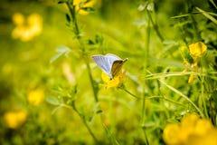 Peque?a mariposa en una flor amarilla fotografía de archivo libre de regalías