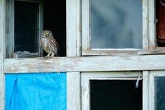 Peque?o b?ho, noctua del Athene, p?jaro en teja de tejado vieja Fauna urbana con el p?jaro con los ojos amarillos, Bulgaria Escen fotografía de archivo
