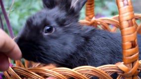 Peque?o conejo negro lindo que se sienta en una cesta almacen de metraje de vídeo