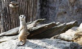 Peque?o meerkat lindo en parque zool?gico foto de archivo libre de regalías