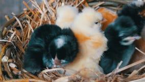 Peque?os pollos mullidos tramados viejos de un d?a reci?n nacidos del color amarillo y negro en la jerarqu?a del heno en un fondo almacen de video