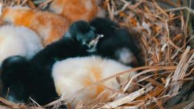 Peque?os pollos mullidos tramados viejos de un d?a reci?n nacidos del color amarillo y negro en la jerarqu?a del heno en un fondo metrajes