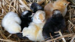 Peque?os pollos mullidos tramados viejos de un d?a reci?n nacidos del color amarillo y negro en la jerarqu?a del heno en un fondo almacen de metraje de vídeo