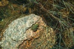 Peque?a rana verde en piedra entre el agua fotos de archivo libres de regalías