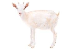 Pequeña cabra blanca Fotografía de archivo