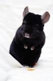 Pequeña chinchilla negra Imagenes de archivo
