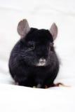 Pequeña chinchilla negra Foto de archivo libre de regalías