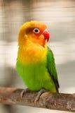 Pequeña cotorra rizada verde hermosa del loro Foto de archivo libre de regalías