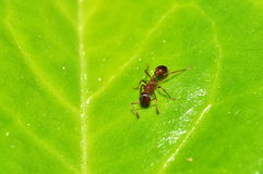 Pequeña hormiga en la hoja Fotos de archivo